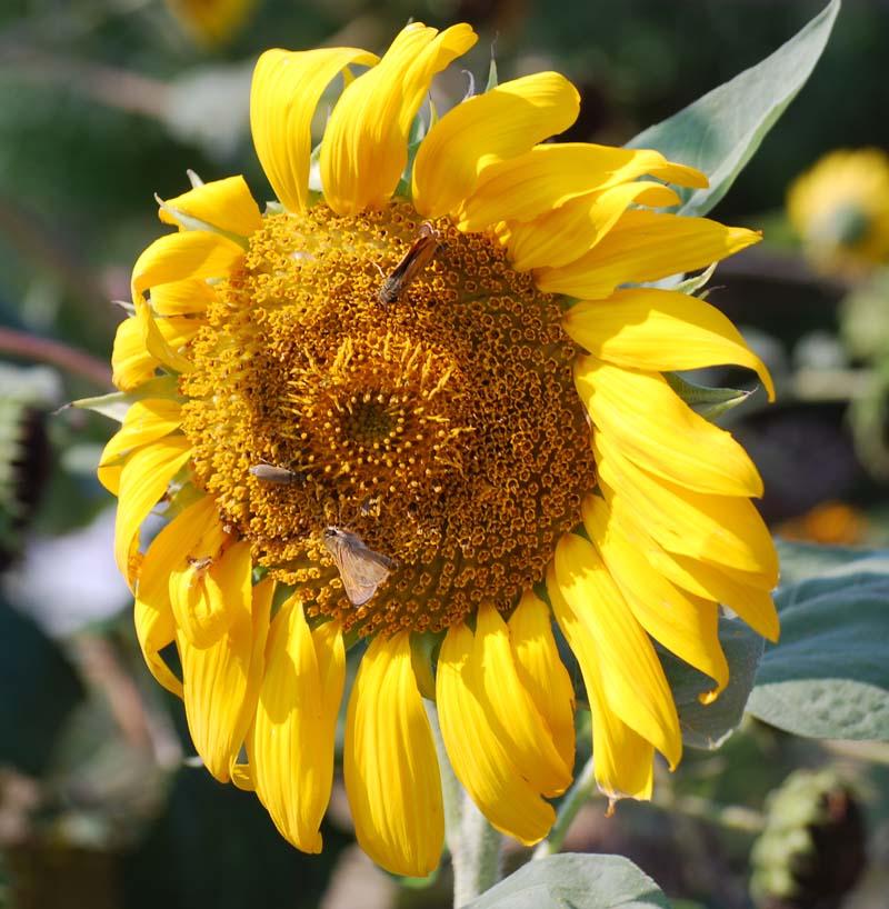 SunflowerAug18