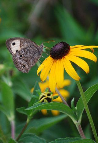 ButterflyJul7a