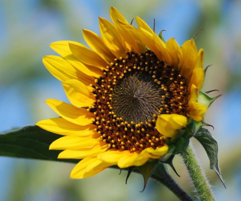 SunflowerJul7b