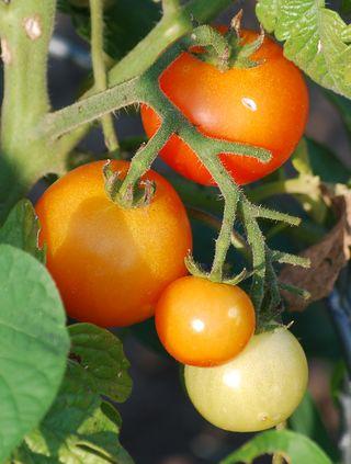 TomatoesJun6