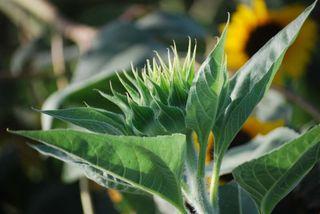 SunflowerAug8