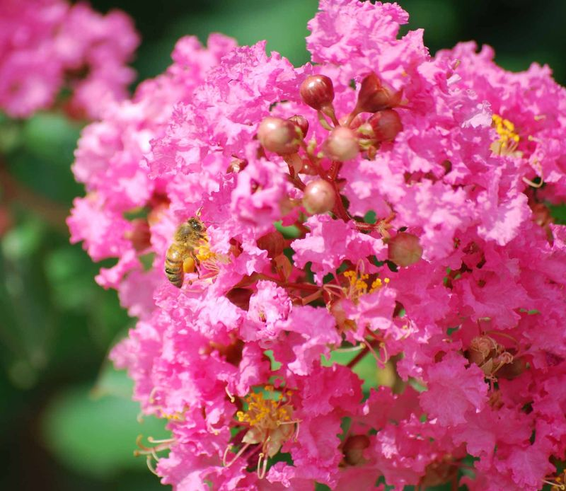 CrapemyrtleJun12a