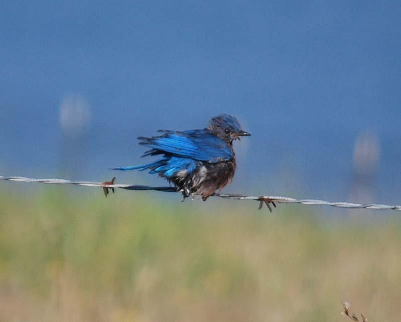 BluebirdSept23a