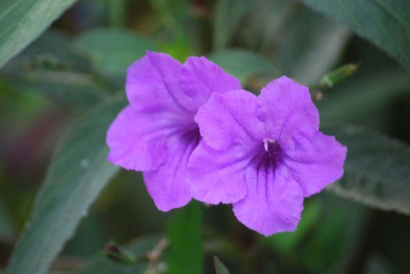 Petunias12