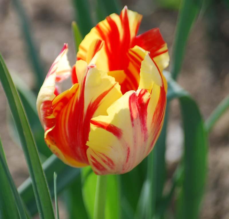 TulipApr6a