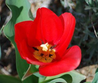TulipMar29b
