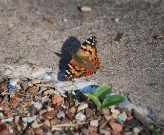 ButterflyAp18e