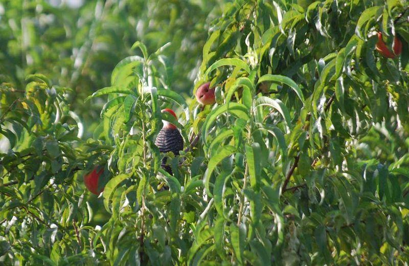 WoodpeckerJul12