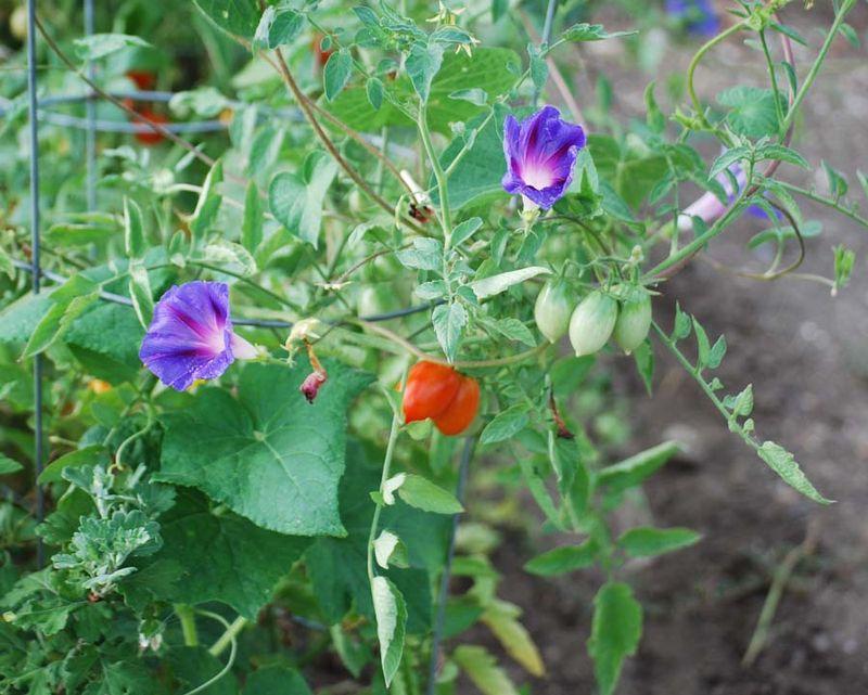 TomatoesJul29