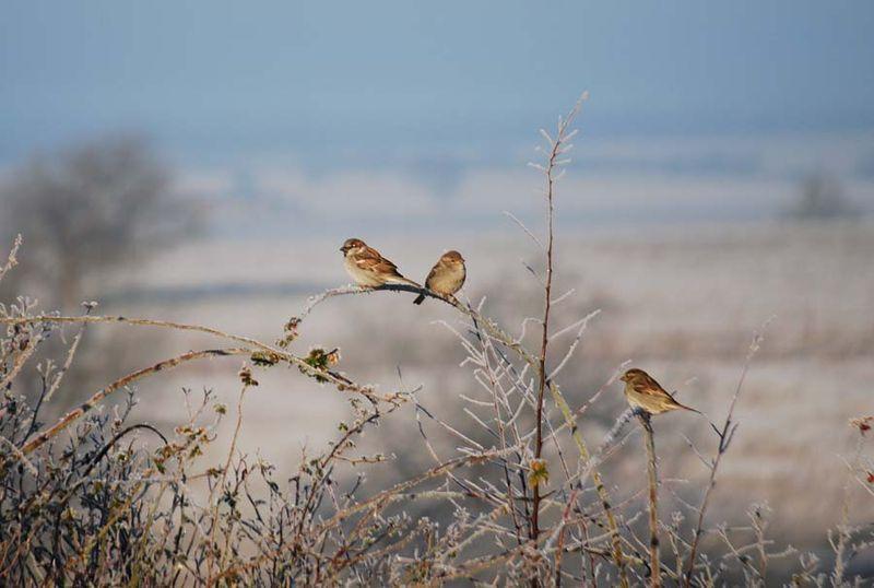 SparrowsDec26