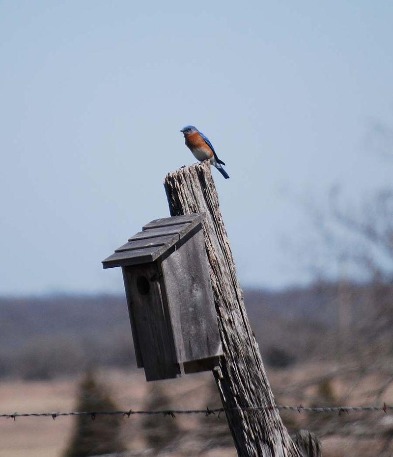 BluebirdMar19b
