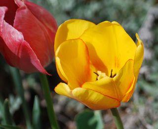 TulipAp7h
