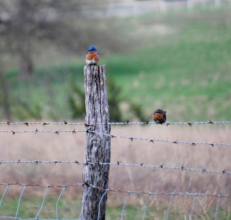 BluebirdsAp12