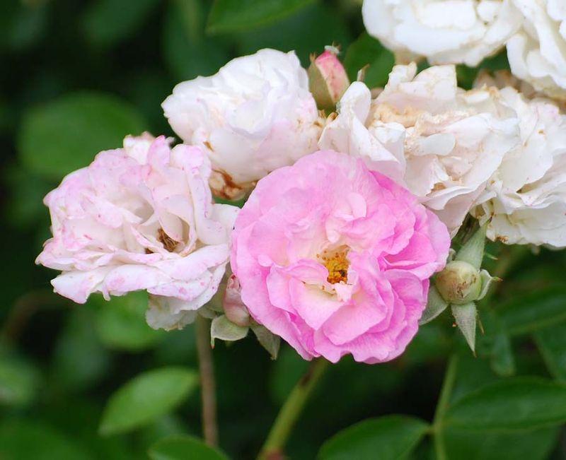 RosesMay17