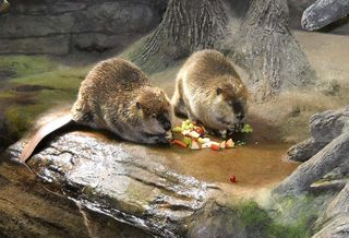 Beavers3