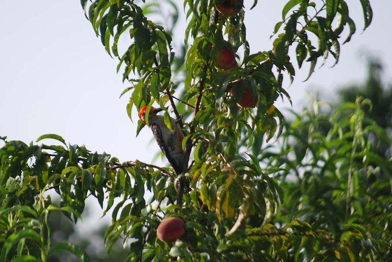 WoodpeckerJul12b