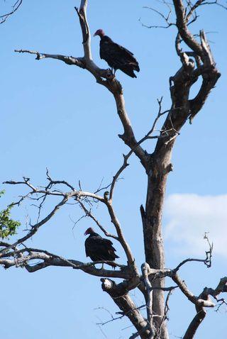 VulturesAug24