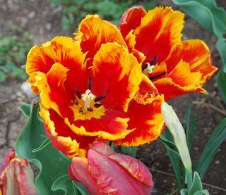 TulipsAp2