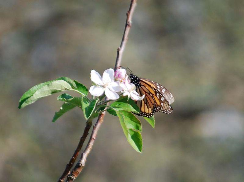 ButterflyAp18d