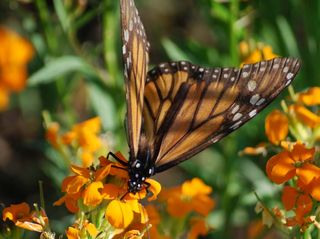 ButterflyAp18c