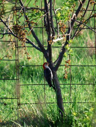 WoodpeckerAp28