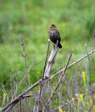 Birdstick