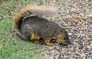 SquirrelMay19b