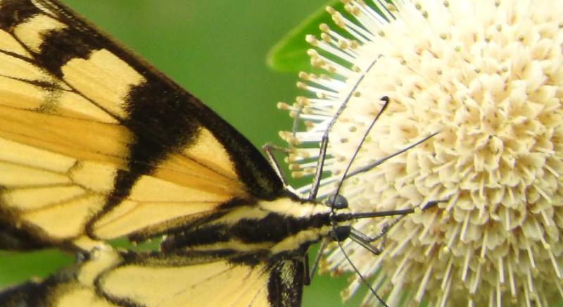 ButterfaceG