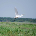 Egret fly