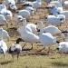 Geese walk