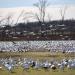 Geese gathering