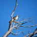 Hawk tree