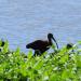 Glossy ibis September
