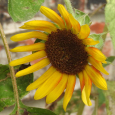 SunflowerAug18a