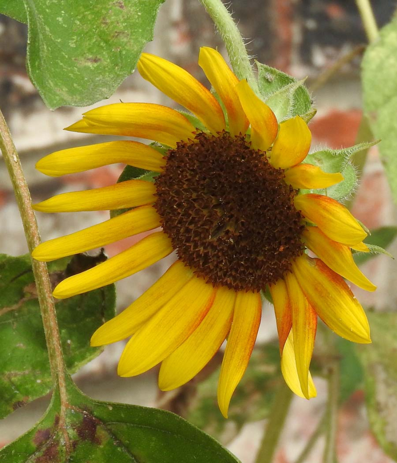 SunflowerAug18a