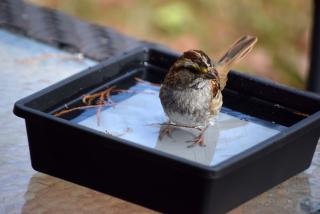 Sparrowbath21a