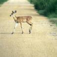 Deerroad