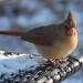 Cardinal, January