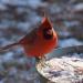 Cardinal in sun