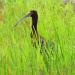 Ibis hiding