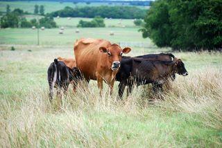 CowsSept6