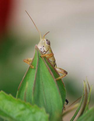 GrasshopSept14a