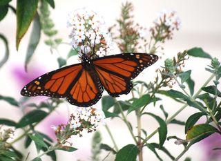 Monarch12b