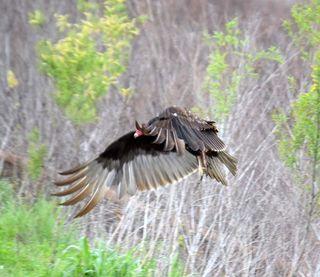 Vulturefly