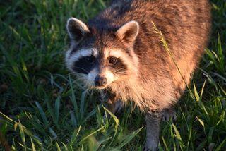 RaccoonMay21jbest