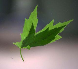 LeafAp20