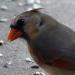 Cardinal face2
