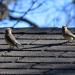 Waxwings roof