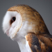 Barn owl face 2