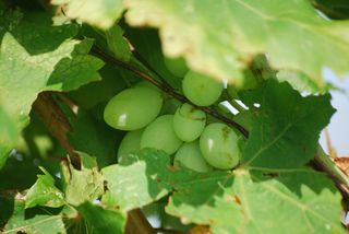 GrapesJun24